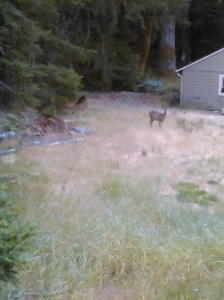 Deer as seen from the bedroom window